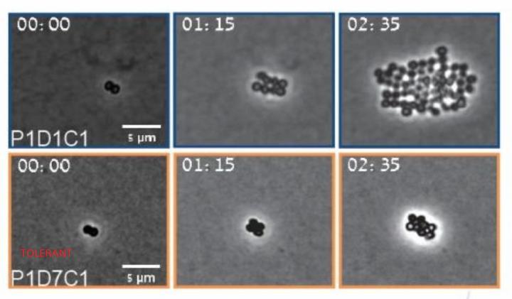 MRSA Bacteria