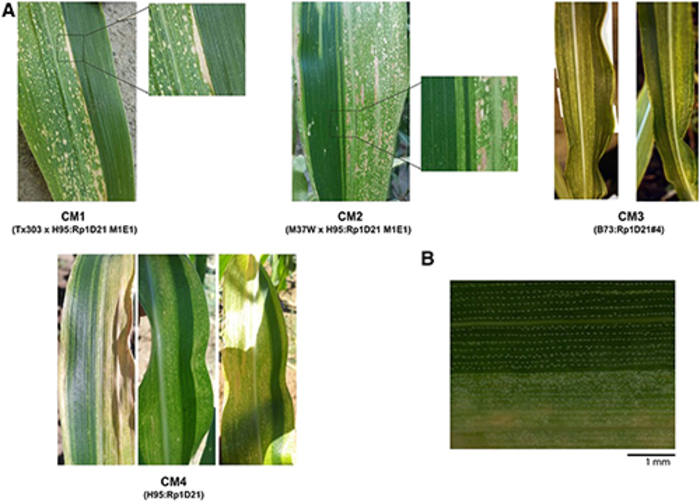 Lesioned and nonlesioned sectors in chimeric leaves