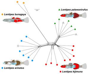 Evolutionary lineages of four Lentipes species
