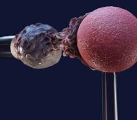 Model of white blood cell protrusion