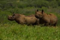 Black Rhinos Face Downwind