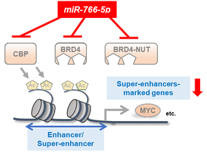 Figure 2. Diagram summarizing the mechanism by which miR-766-5p reduces the activity of super-enhancers in cancer cells.