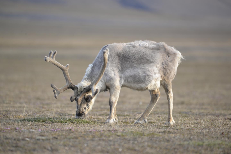 Svalbard Reindeer Grazing on Polar Willows