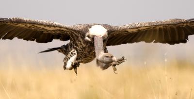 Vulture in Flight, Kenya