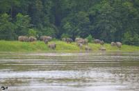 Family of Bornean Elephants