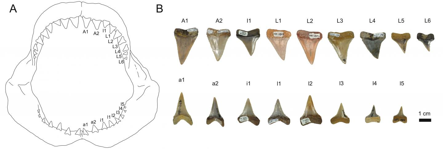 Set of Teeth of Today's White Shark and a Reconstructed Set of Teeth of a Fossil Great White Shark