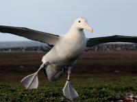 Albatross (3 of 3)