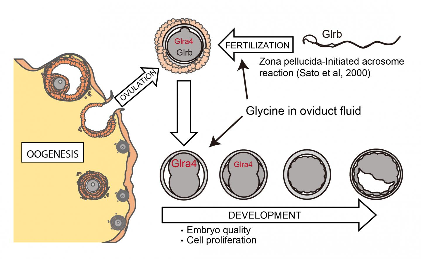 Graphical Abstract of the Putative Role of Glycine Receptors from Fertilization to Early Development