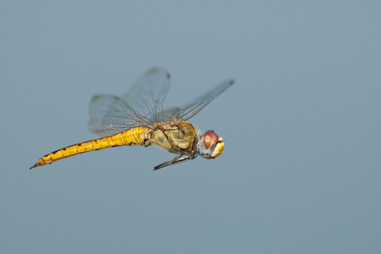 <i>Pantala flavescens</i> in Flight