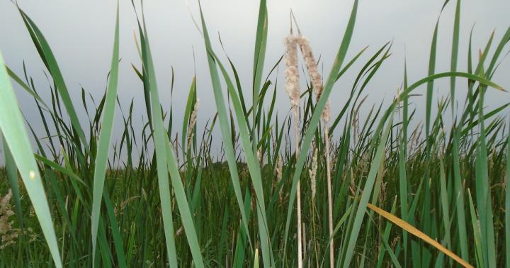 View through wetland cattails