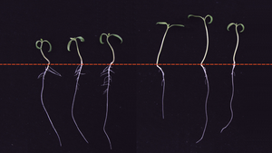 Tomato Seedling Roots