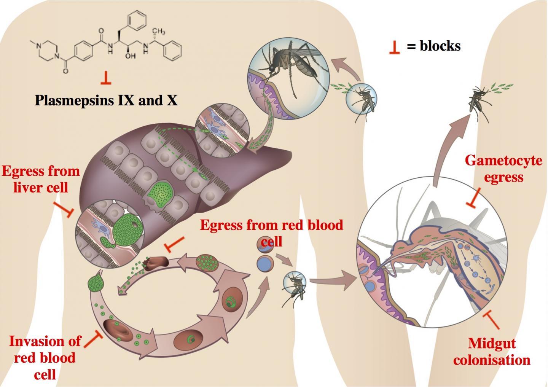Key Roles of Two <i>Plasmodium</i> Asparyl Proteases