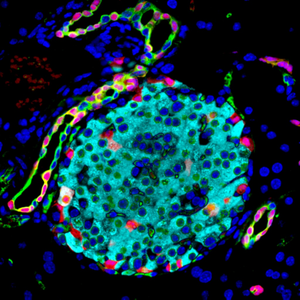 Pancreatic cells that produce and release hormones that regulate glucose
