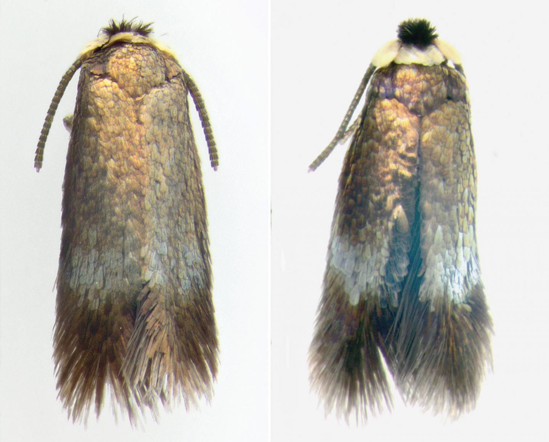 Male Specimens, <i>Stigmella multispicata</i>