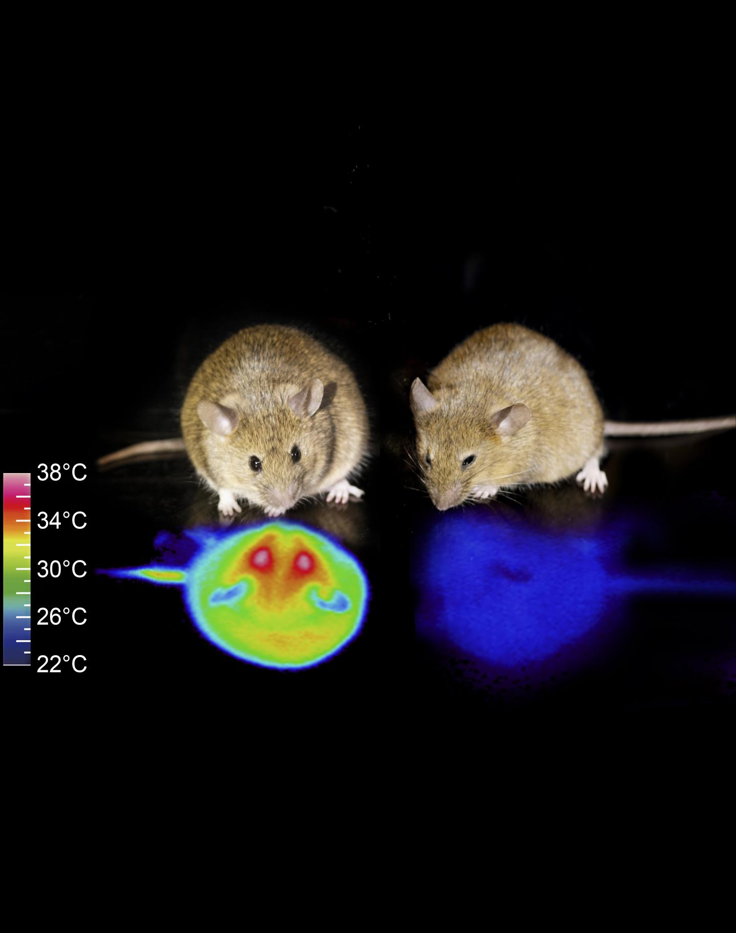 Hibernation in Mice: Are Humans Next?