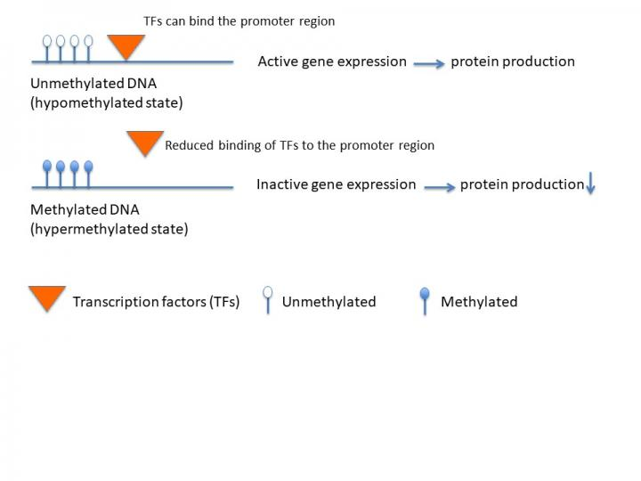 Effects of DNA Methylation on Gene Expression