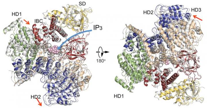 Comparison of IP3R Cytosolic Domain Structures