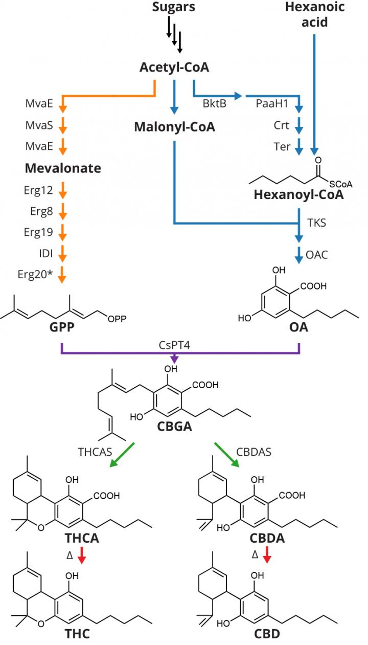 Engineered Biosynthetic Pathway For Synthesis Of Cannabinoids In Yeast