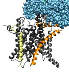 Ribosome/SecY Interaction