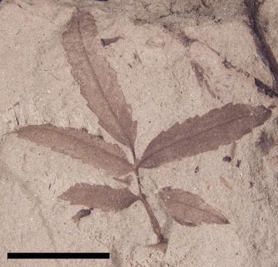 <i>Sapindopsis minutifolia</i>