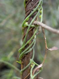 Parasitic Plants Controlling Weeds