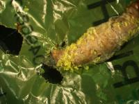 Wax Worm Chewing Plastic