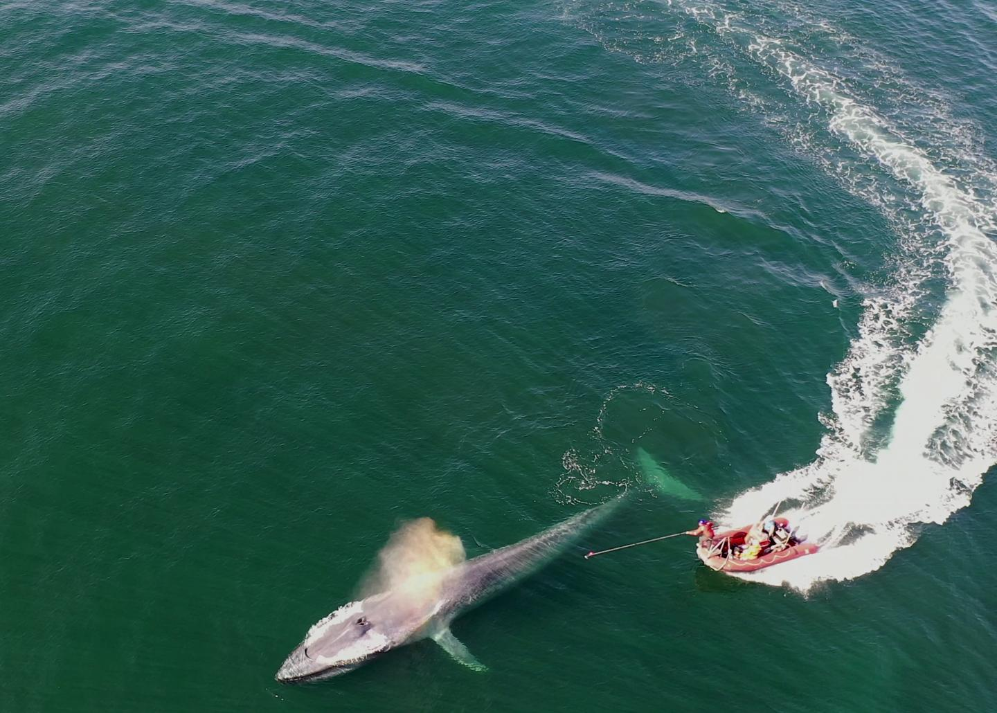 Blue Whales Being Tagged