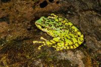 A Beautiful Stream Frog