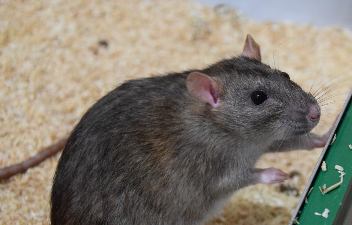 Shiny grey/brown rat with clear eyes on a bed of sawdust