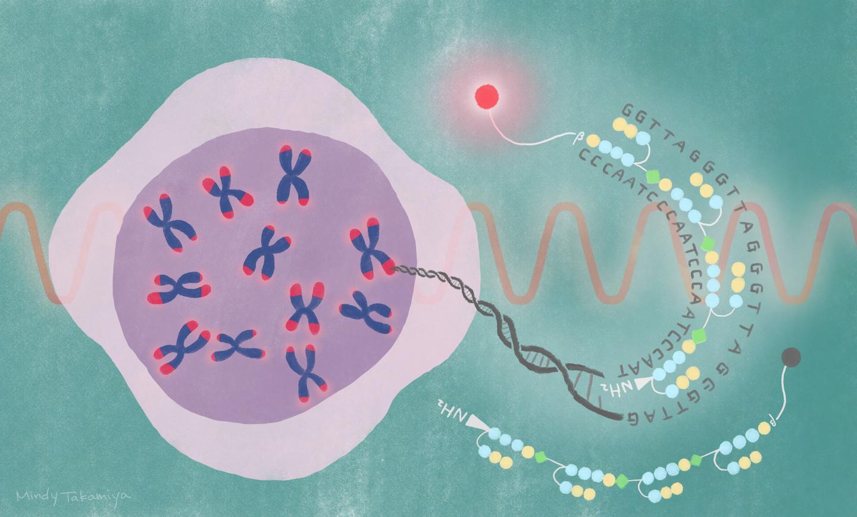 IMAGE - iCeMS telomere