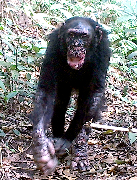 A chimpanzee with leprosy