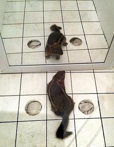 Mirror study ground squirrel