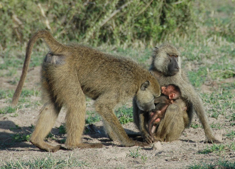 Baboons in Amboseli National Park in Kenya