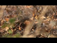 Dwarf Mongooses Foraging