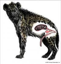 Hyena Graphic