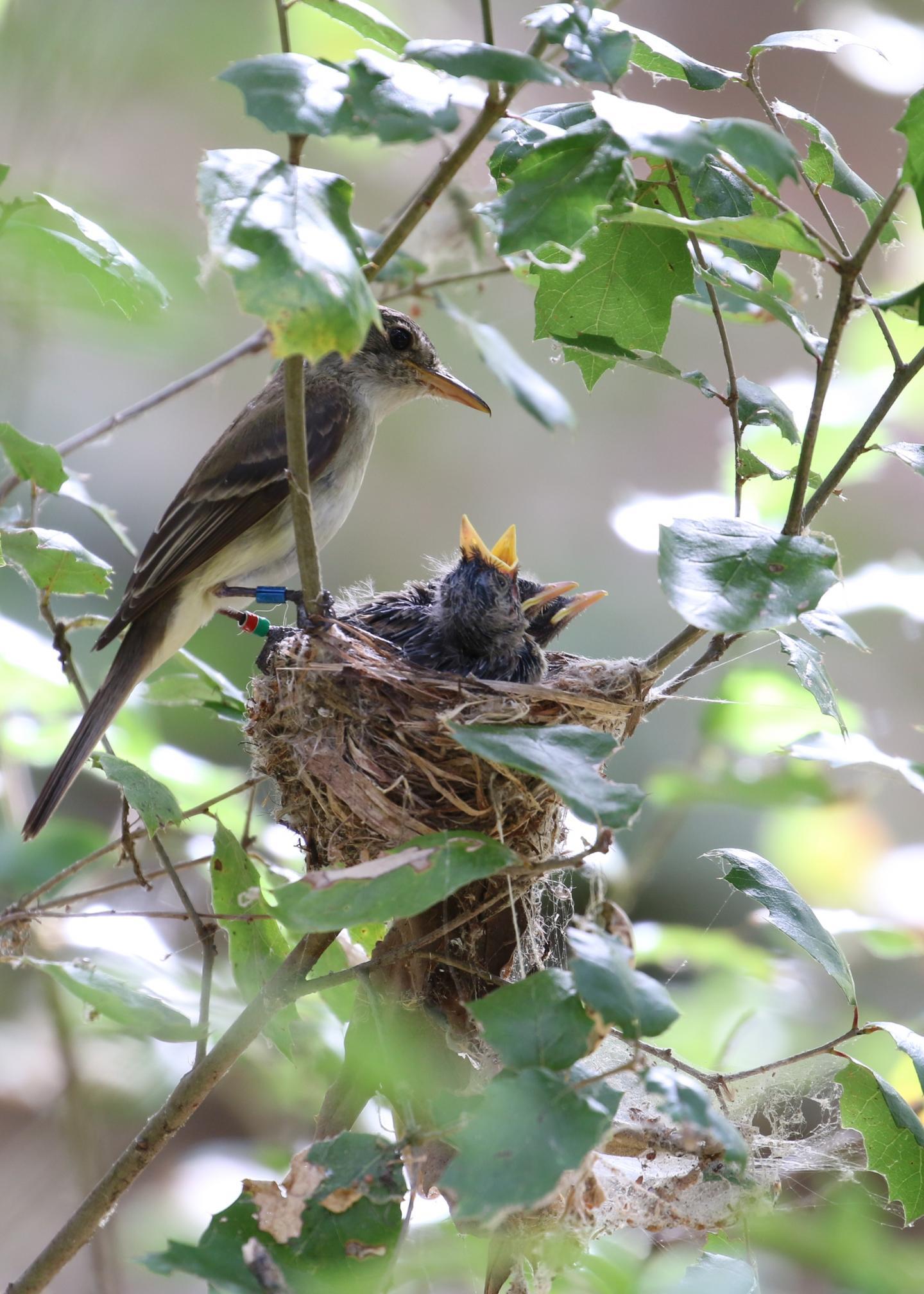 Southwestern Willow Flycatcher nest