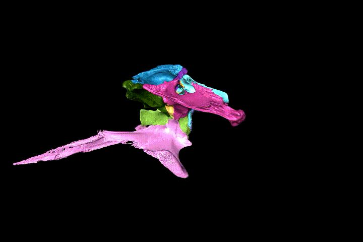 Animation of particular bones in the braincase of the false gharial Tomistoma schlegelii