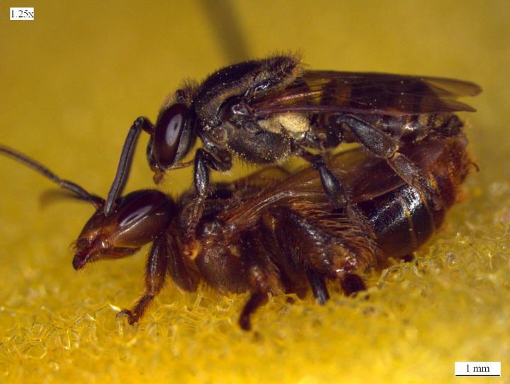 Stingless Bee Mating
