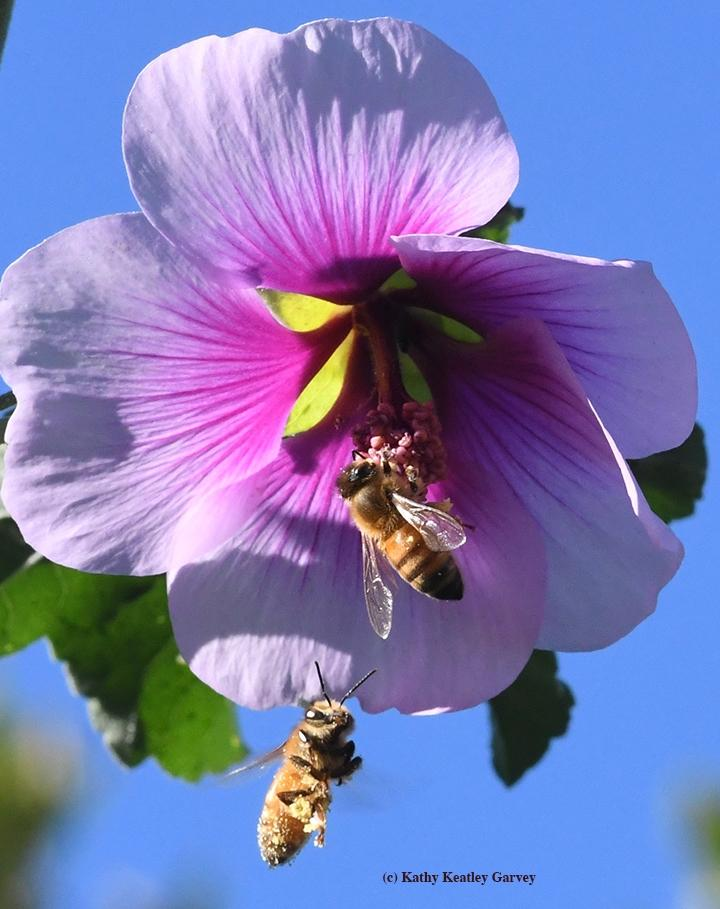 Foraging Honey Bees