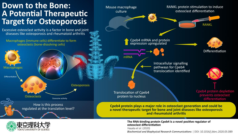 Bone-Dissolving Cells