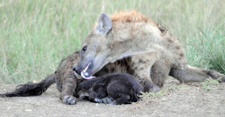 Hyena mom licking cub