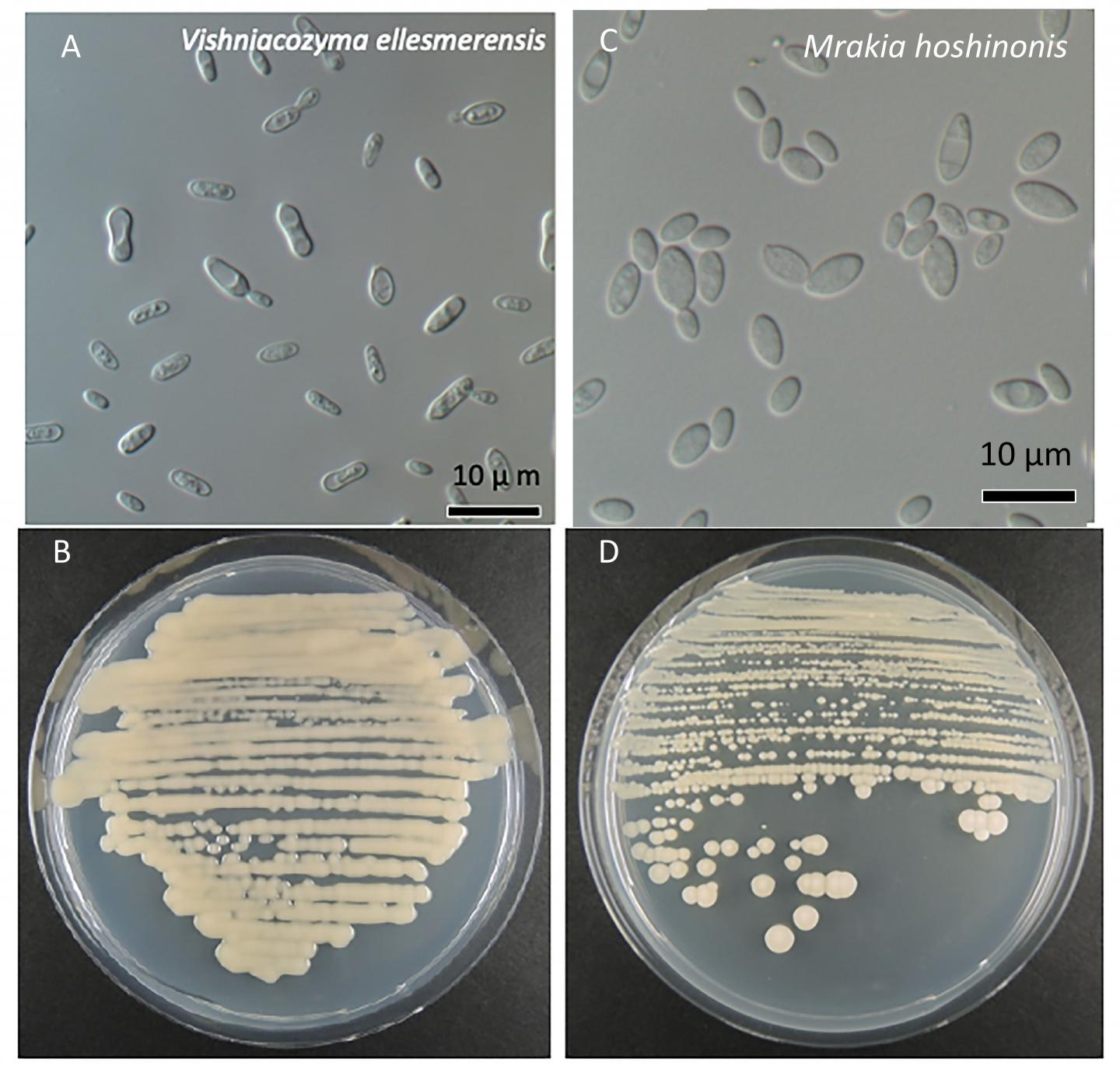 Two New Species of Fungi