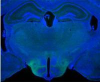 Ventromedial Hypothalamus in Male Mouse Brain