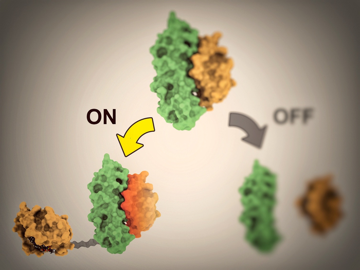 New proteins enable scientists to control cell activities