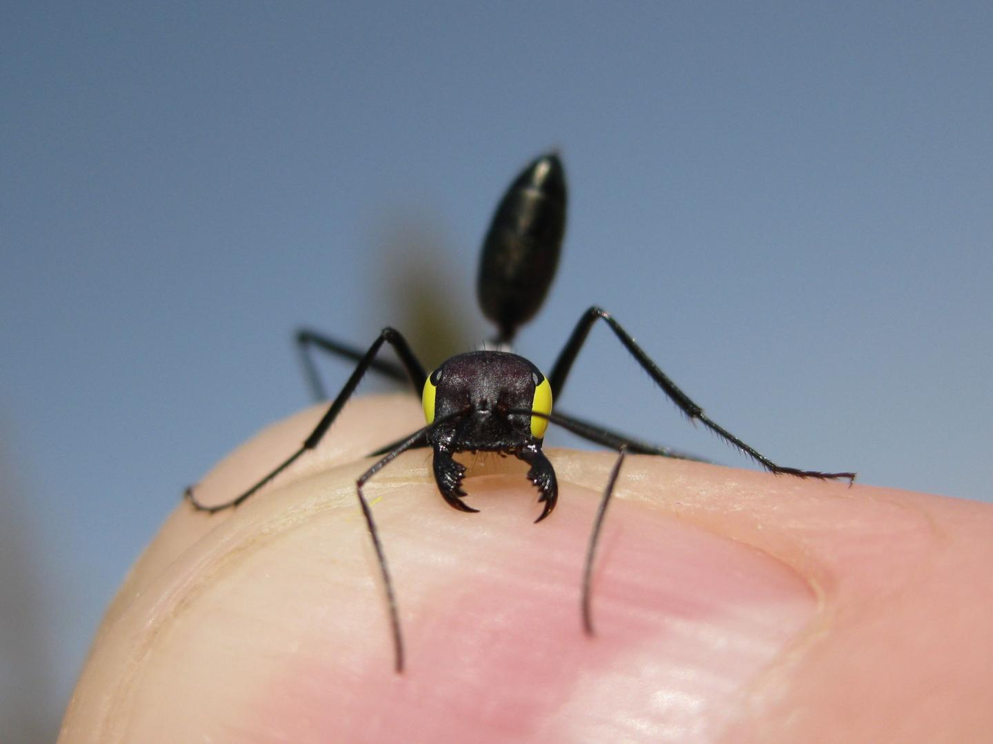 Ants Have Dual Navigation Systems