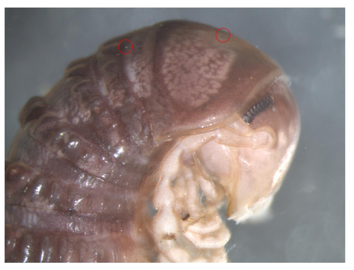 The Photo Shared on Twitter of the Millipede <em>Cambala</em>