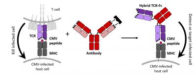 Design Of Antibody-Like T Cell Receptor To Target Virally-Infected Cells