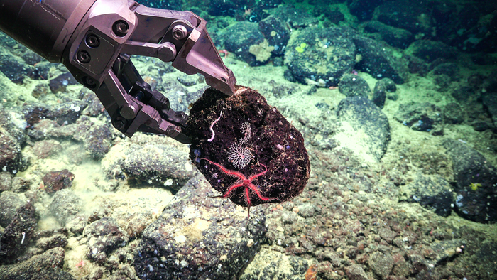 Brittle star and coral on ROV SuBastian's manipulator arm