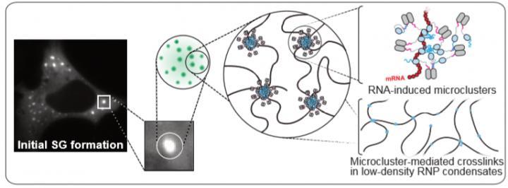 Protein G3BP Under Stress