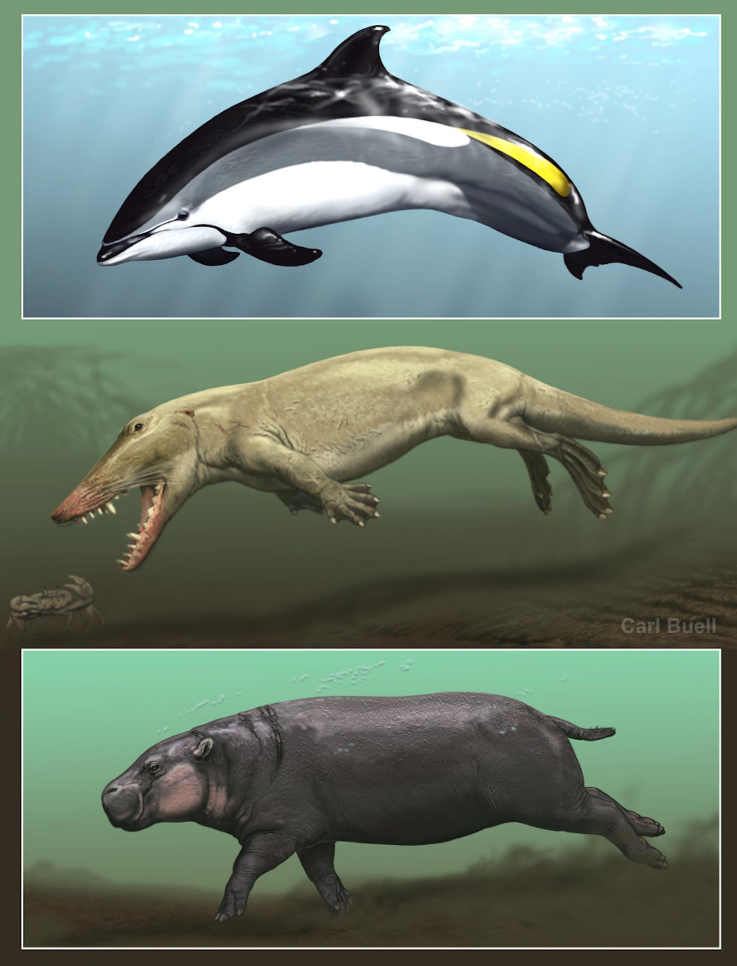 Cetacean hippo ancestor
